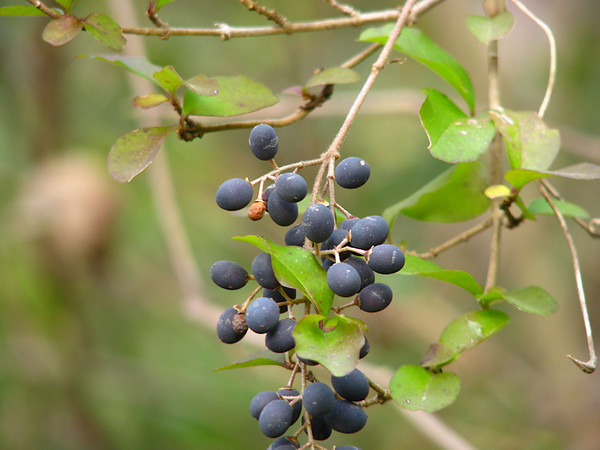 blackhaw viburnum fruit.jpg