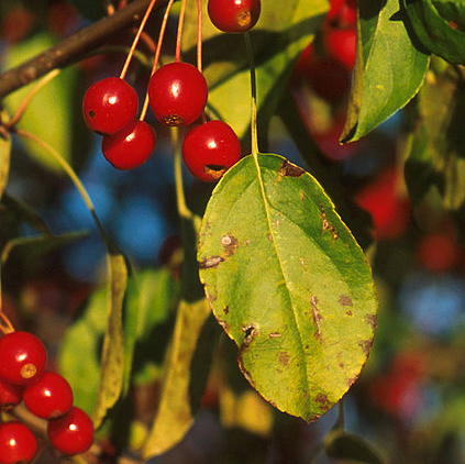 Apple Scab - Common Hosts: Crabapple, Apple, Quince, Pear, Hawthorn, Serviceberry, Mountain AshLearn More
