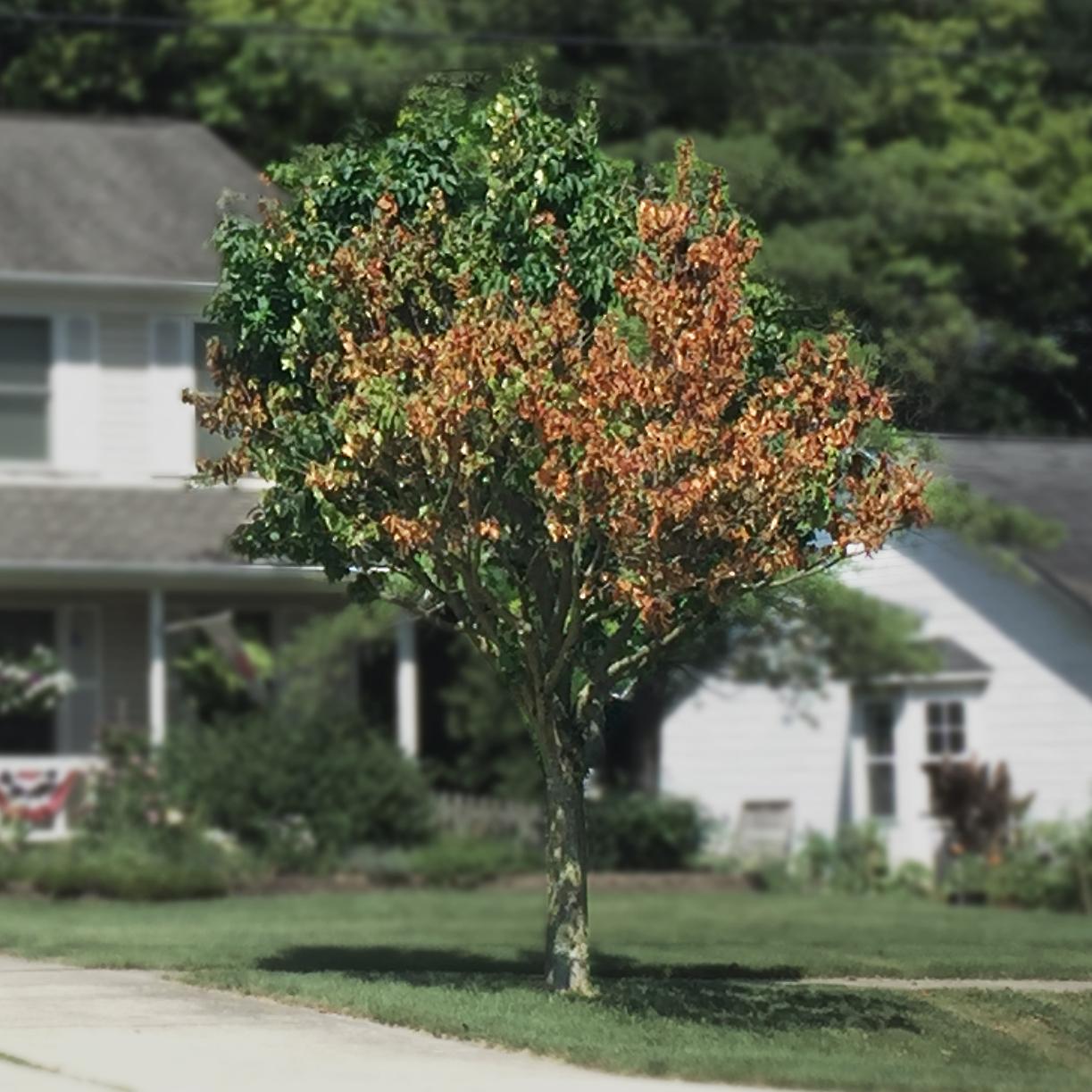 Verticillium Wilt* - Common Hosts: Maple, Smoke Tree, many othersLearn More