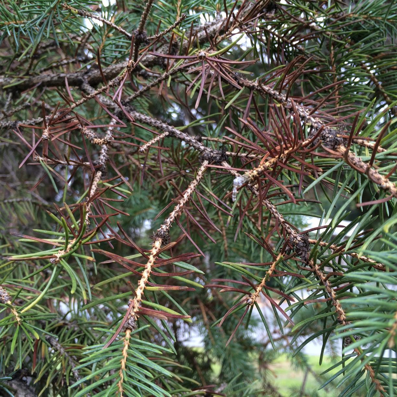 Rhizosphaera Needle Cast - Common Hosts: White Spruce, Colorado Spruce