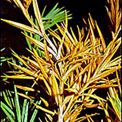 Phomopsis Tip Blight - Common Hosts: Juniper