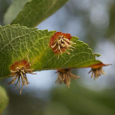 Cedar-Apple Rust - Common Hosts: Juniper, Crabapple, Apple