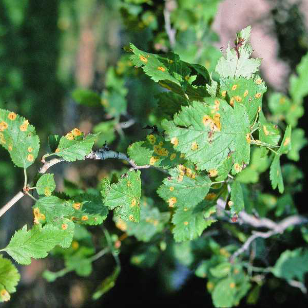 Cedar-Hawthorn Rust - Common Hosts: Juniper, Hawthorn