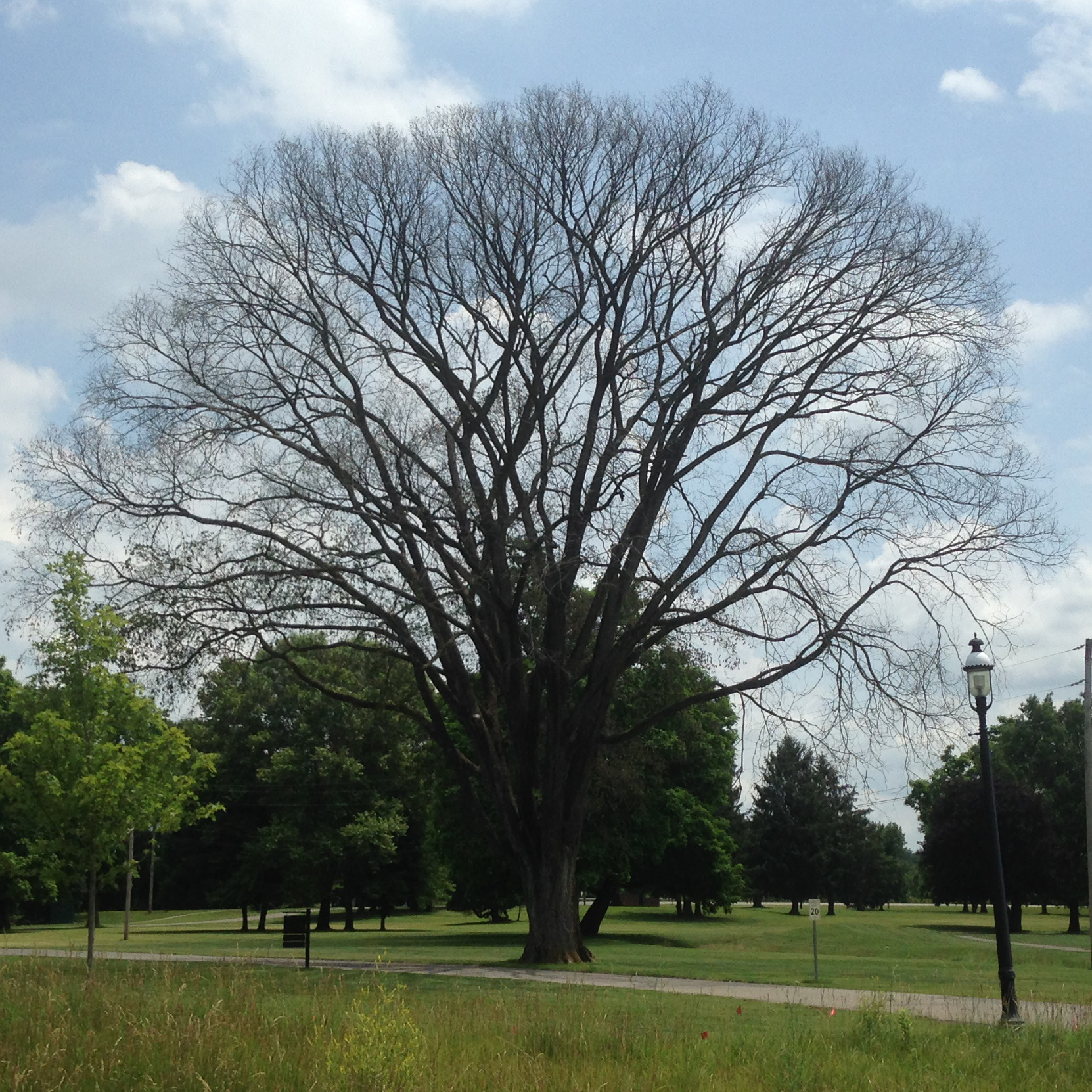 Dutch Elm Disease - Common Hosts: American Elm