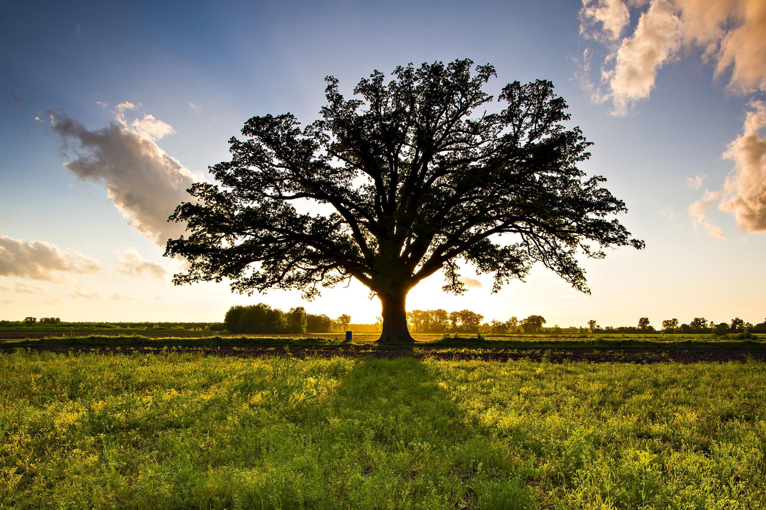 The Mighty Bur Oak - by Walter Reins