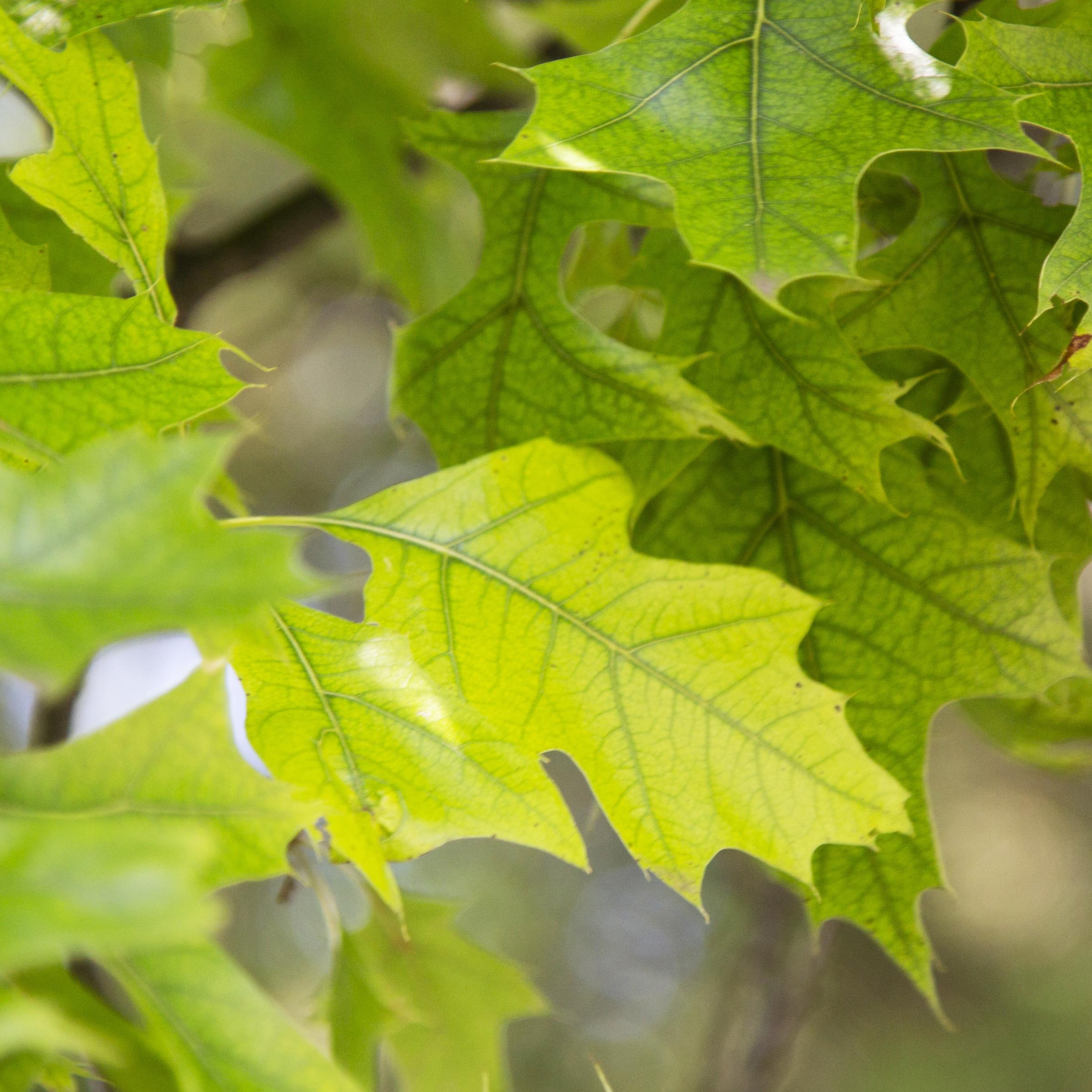 Chlorosis in a Pin Oak in Bexley, Ohio
