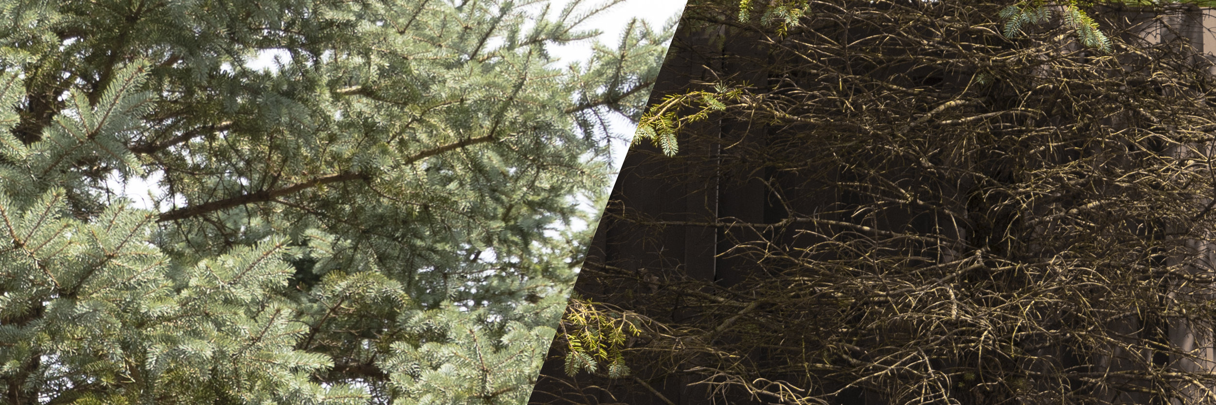 Blue Spruce without (left) and with (right) rhizosphaera needle cast