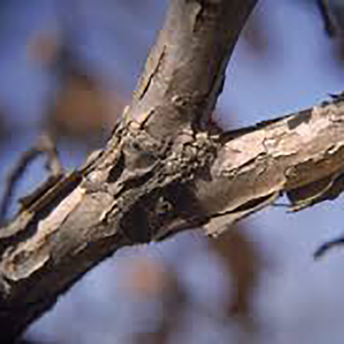 3-swamp white oak bark.jpg