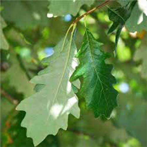 3-Swamp white oak leaf.jpg