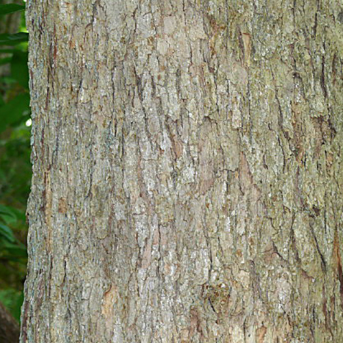 4-Chinkapin oak bark.jpg
