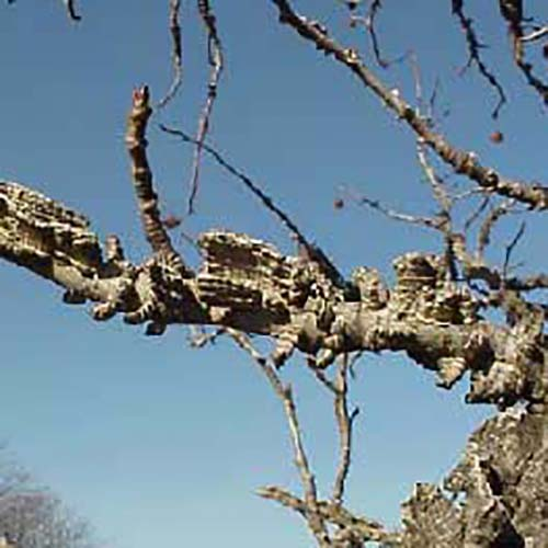 4a-Sweetgum winged bark.jpg