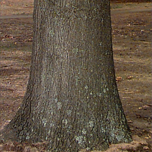 5-Pin oak bark.jpg