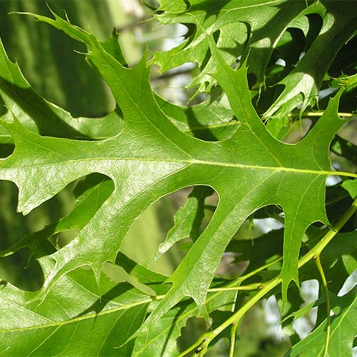 5-Pin oak leaf.jpg