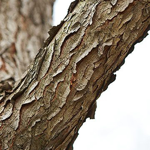 7-Kentucky coffee tree bark.jpg