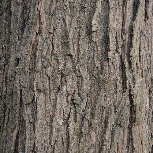 9-Sugar maple bark mature.jpg