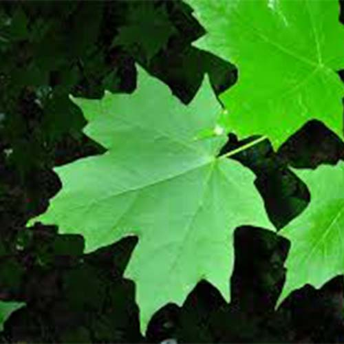 9-Sugar maple leaf.jpg