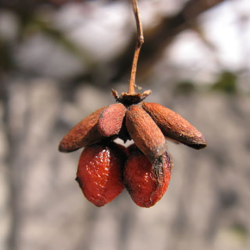 12-burning bush winter fruit.jpg