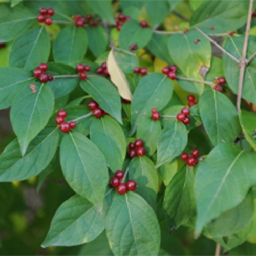 15-amur honeysuckle leaf.jpg