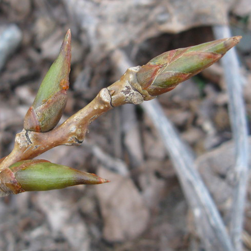 22-Cottonwood bud.jpg