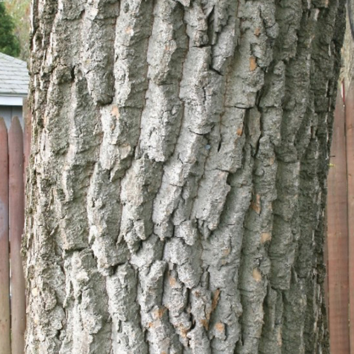 22-Cottonwood bark.jpg