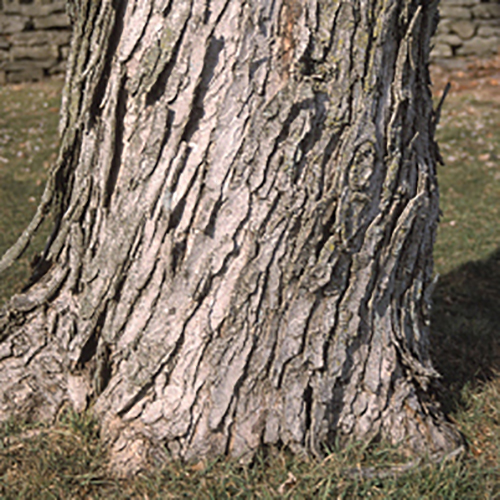 23-Silver maple bark.jpg