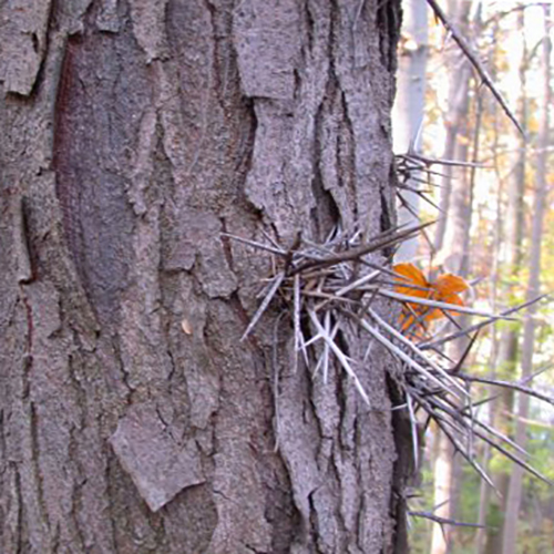 24-honeylocust bark and thorn.jpg
