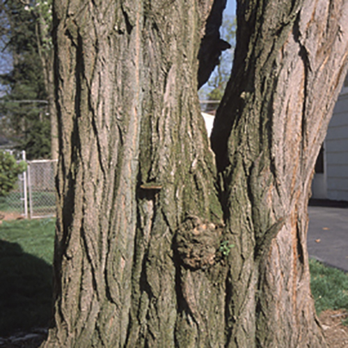 28-black locust bark.jpg