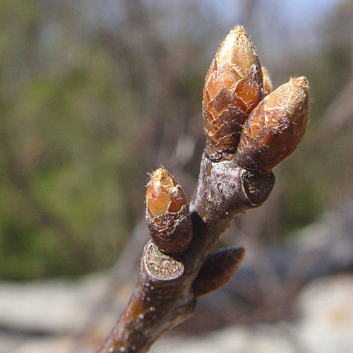 36-Red oak bud.jpg