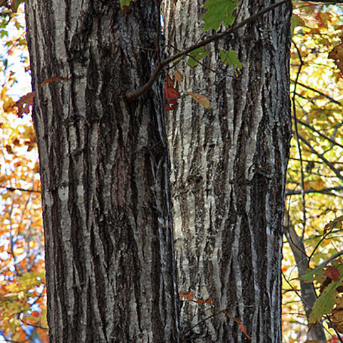 36-Red oak bark.jpg