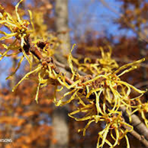 43-Common witch-hazel flower.jpg