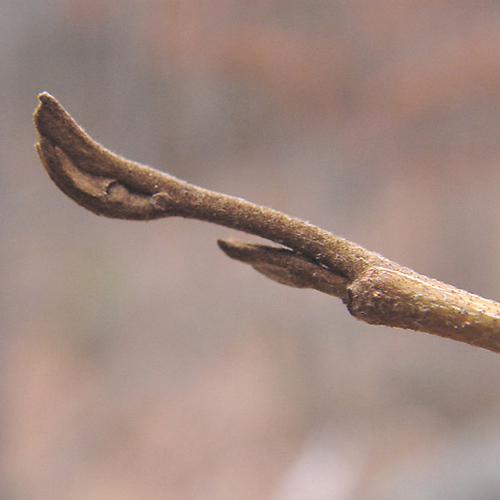 43-Witch hazel bud.jpg