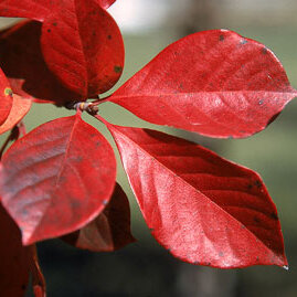 Black Tupelo - Excellent tree for glossy red fall color. Some cultivars will color yellow and red. Slow growing medium sized tree.