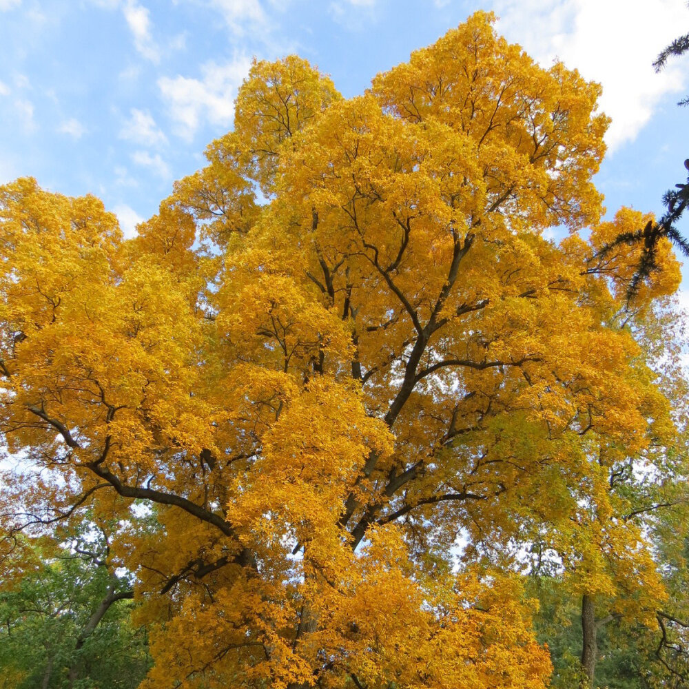 Hickory - This image is of a Pignut hickory but most species of hickory color beautifully in the fall. Slow growing tree. Plant this one for the next generation. Great tree for wildlife.