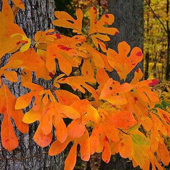 Sassafrass - Medium sized fast-growing tree in youth. Great yellow to orange to red to purple fall color – can be variable from year to year. One of Ohio's most outstanding native trees for fall foliage.