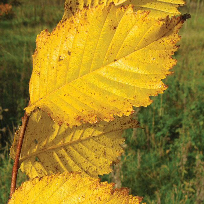 Valley Forge American Elm - Great fast-growing historic shade tree adaptable to most soil types – reliable yellow to gold fall color.