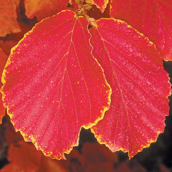 Witch Hazel - There are dozens of cultivars of witch-hazel. Most of them have showy fall color. This image is the fall foliage of 'Diane' witch-hazel, one of my favorites. Also has showy red flowers in late winter.