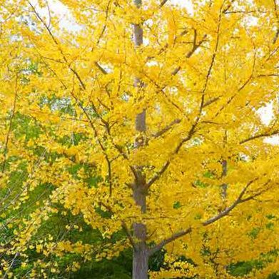Ginkgo - Unrivaled for golden yellow fall color. My only complaint is that the show is short lived, often only 2 – 3 days.