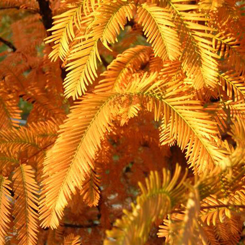 Dawn Redwood - Foliage turns an excellent copper orange to brown before leaf drop. Fast growing, significant pest and disease-free shade tree.