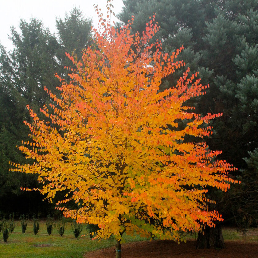 Japanese Katsura - Medium to fast growing shade tree. Fall color can be apricot to scarlet red. Fall leaves smell like cotton candy.