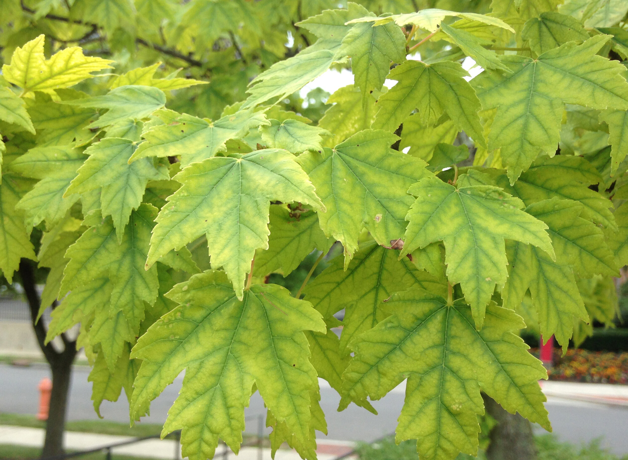 Chlorosis in a Red Maple