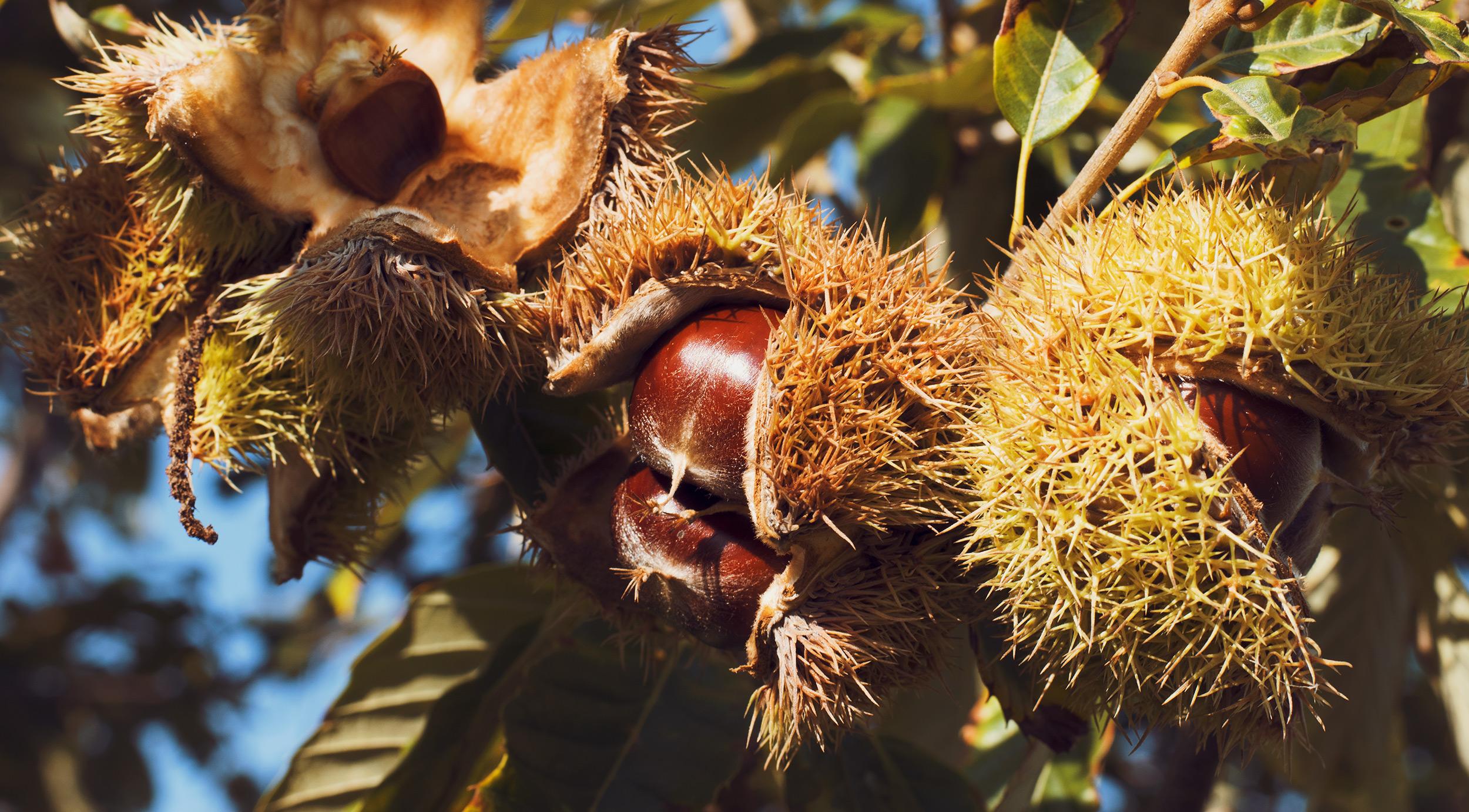 Fresh Chestnut Farm