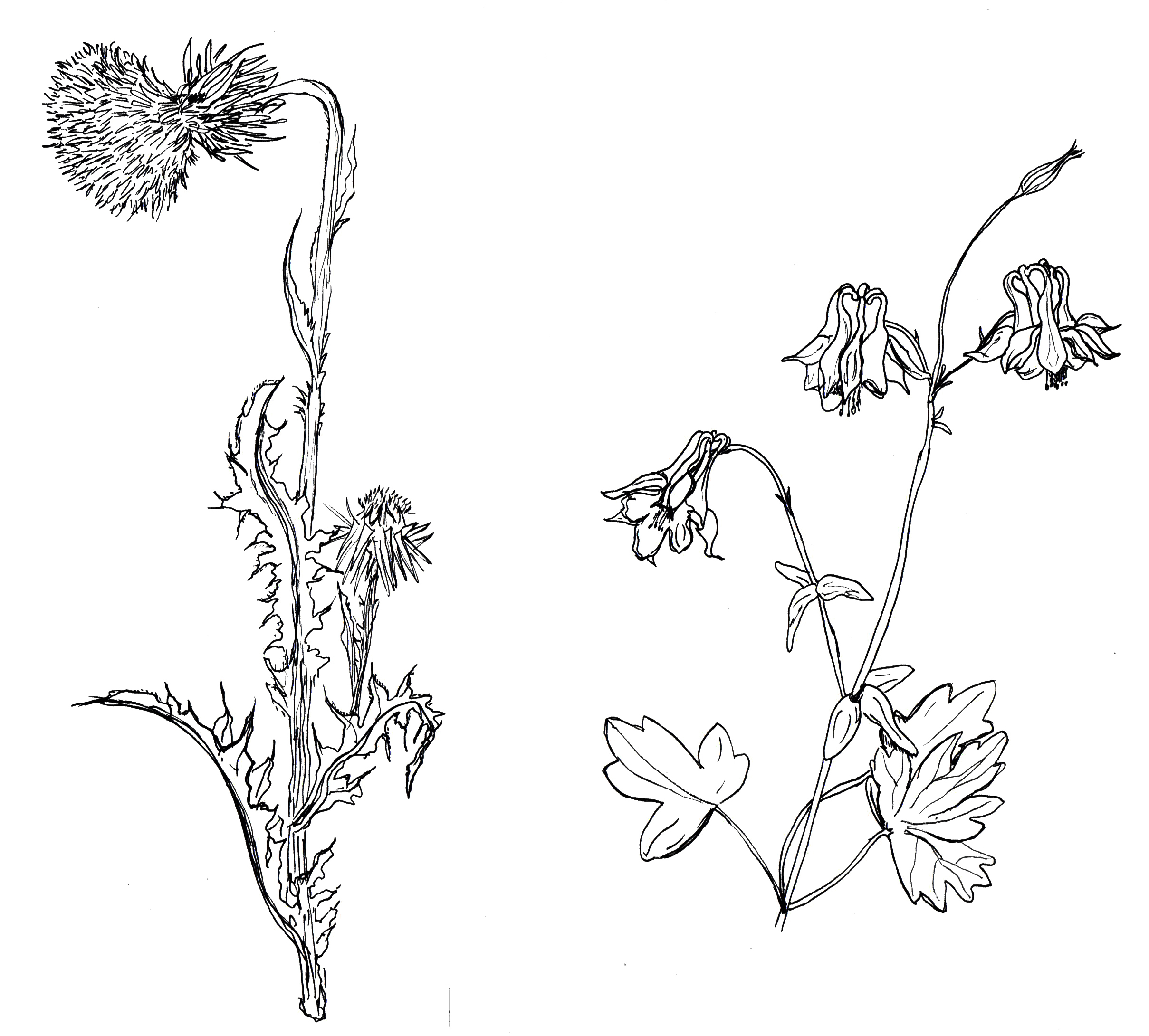 thistle and columbine.jpg
