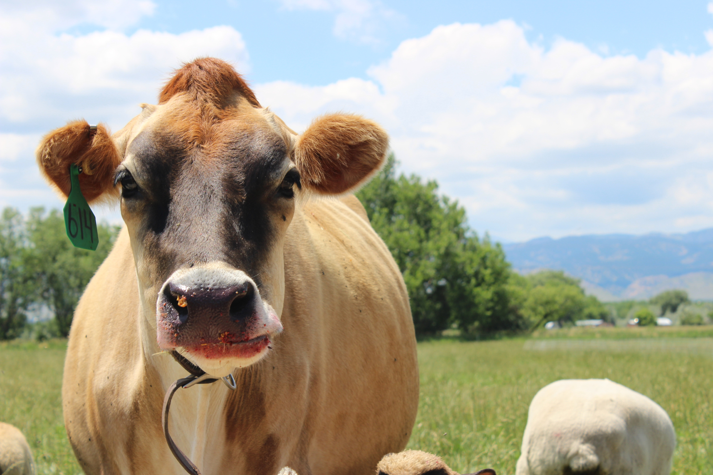 GETTING RID OF GAS - A healthy cow is a happy cow. Studies show that supplementing the diets of four-stomached animals with fermented feed (silage) reduces their greenhouse gas emissions.
