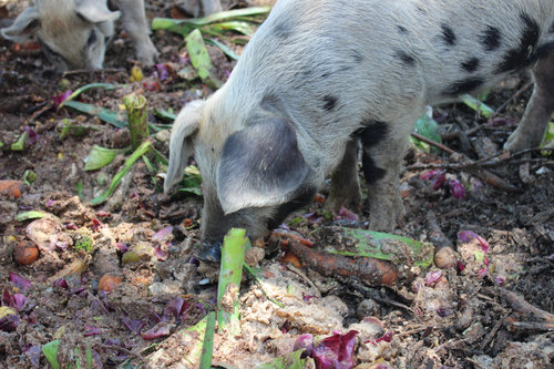 A Golden Hoof Farms piglet sorts through larger food waste scraps for a tasty treat