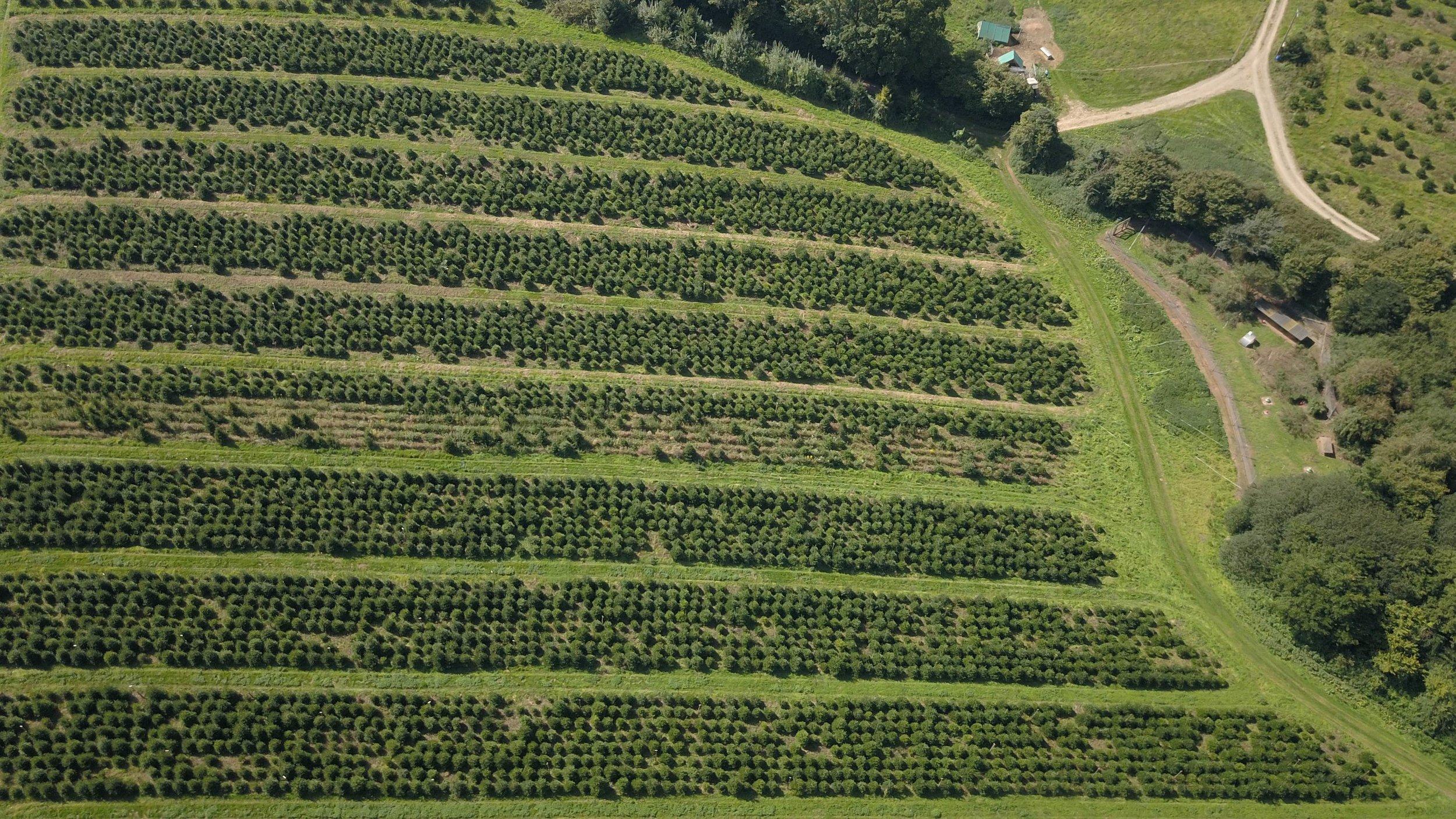 xmas trees aerial.jpg