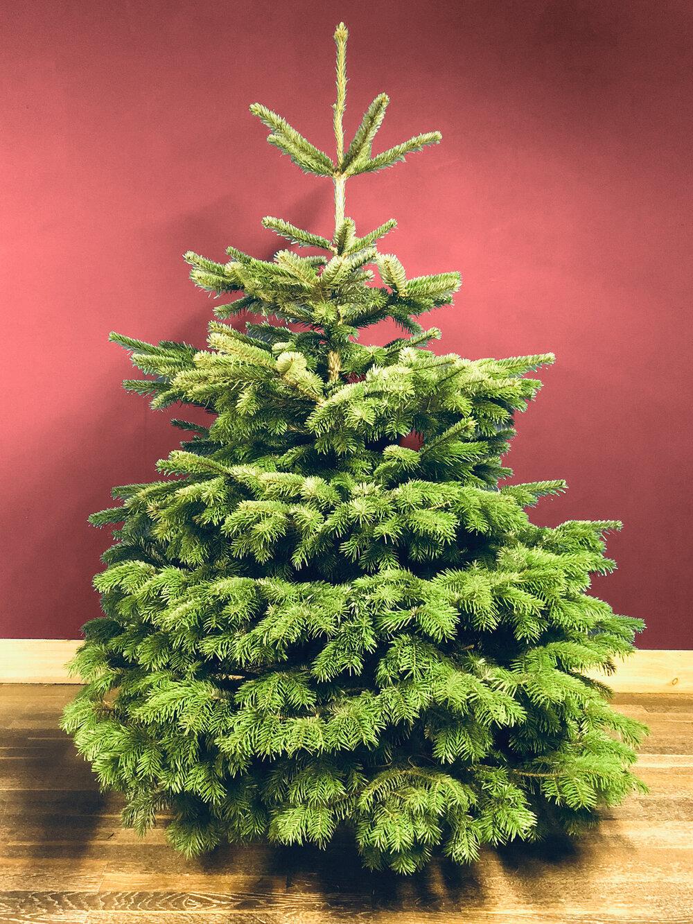 Nordmann Fir Christmas Trees in Somerset from Secret Valley