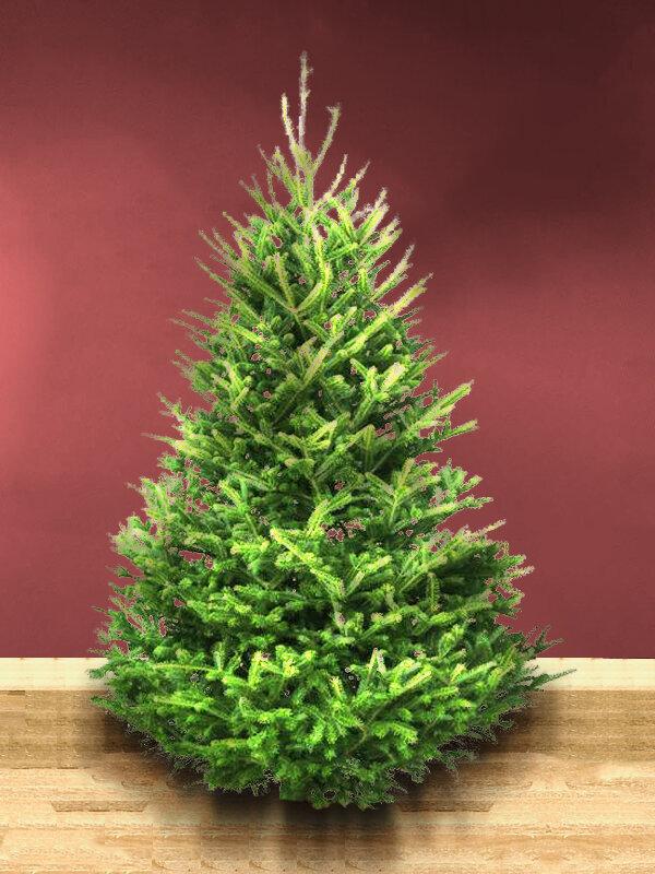 Fraser Fir Christmas Trees in Somerset from Secret Valley