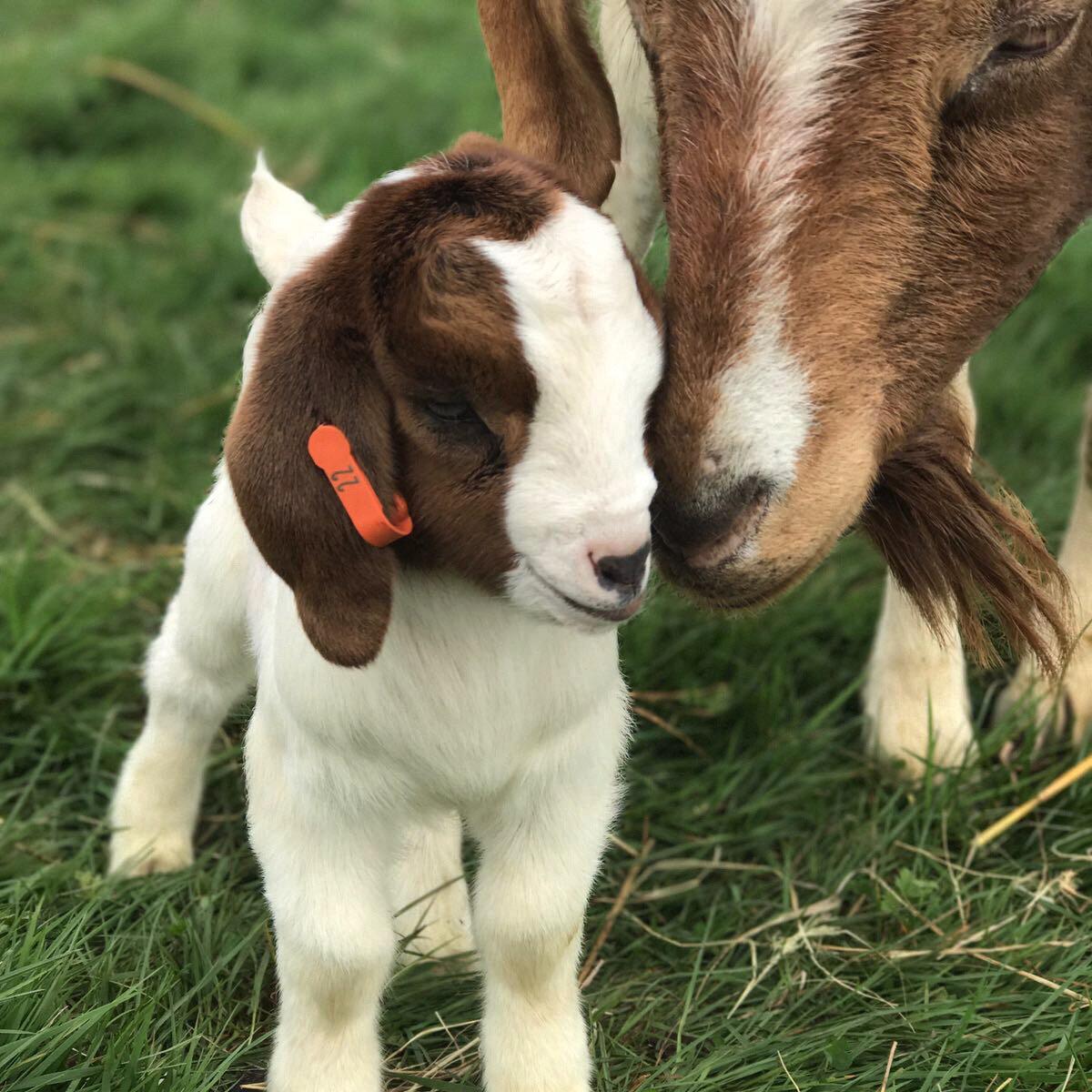 Baby Goat Secret Valley.jpg