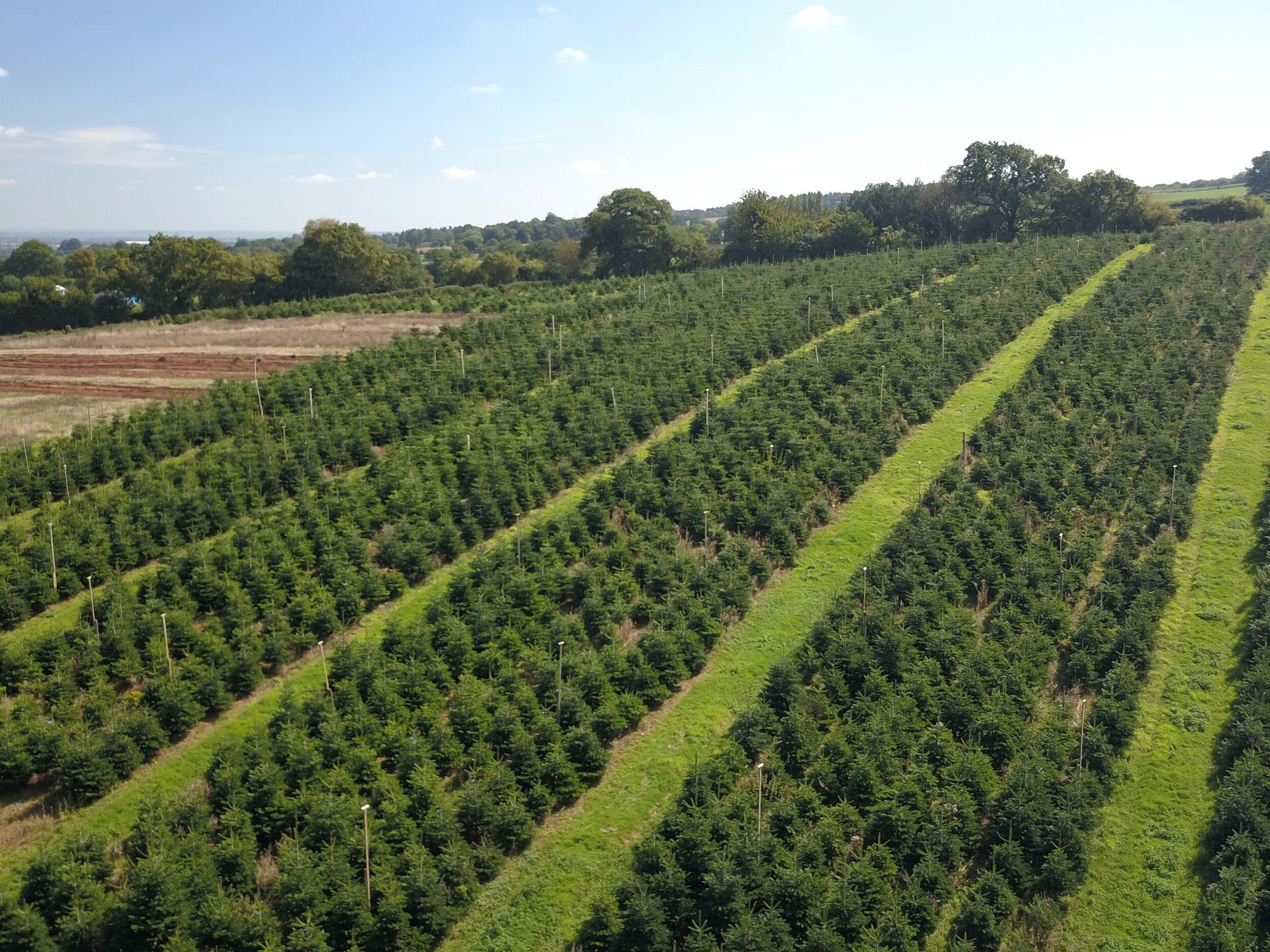 aerial xmas trees1 (1).jpg