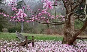 Tyler magnolia tree with chair.jpg